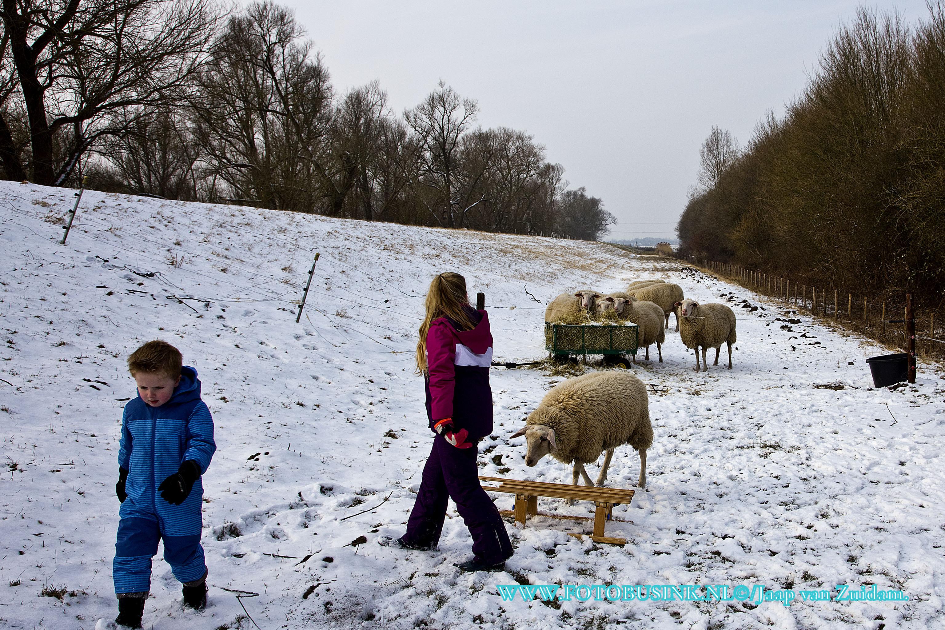 Schaapjes voeren met de slee in de sneeuw.