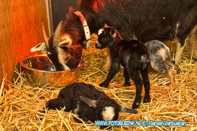 Geboortegolf begonnen bij Weizigt ,Vandaag vijf Dwerggeitjes geboren