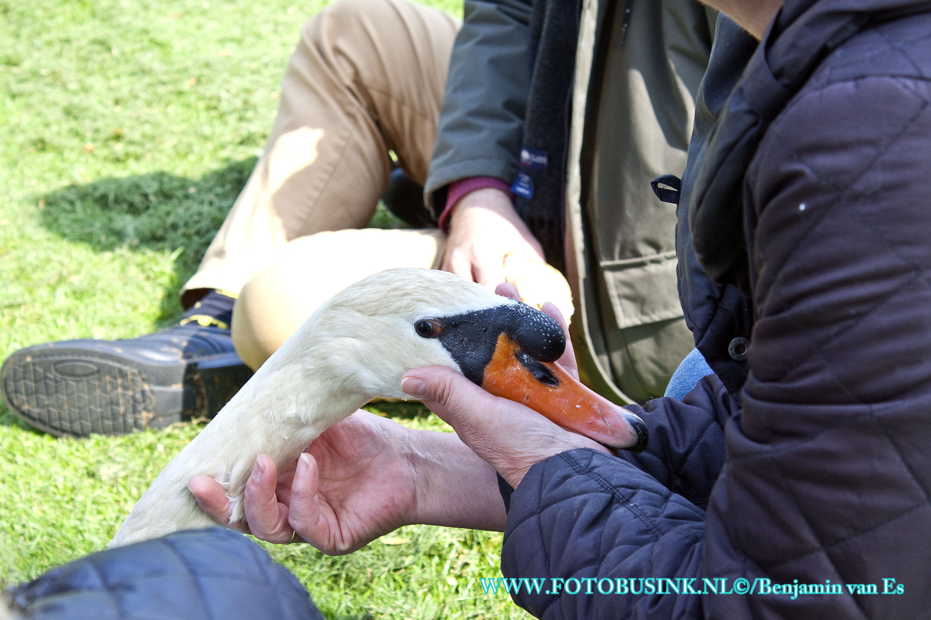 Gewonde zwaan aan de Nassauweg na bijt incident gevangen .