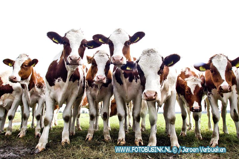 Koeien uit Oud-Alblas